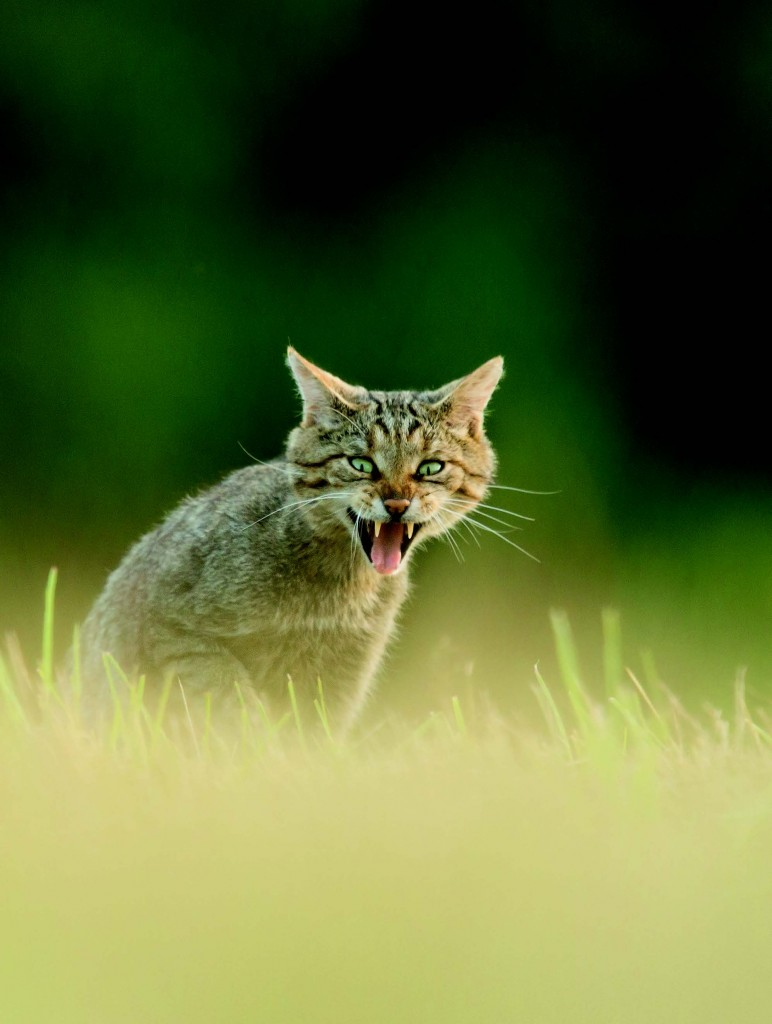 Chat forestier (Felis silvestris silvestris) en forêt communale de Favières (54). © Antoine Peultier