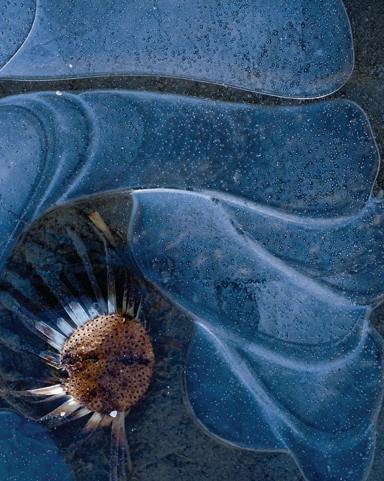 Carline acaule figée dans la glace. Vallée de la Seine, Normandie.
