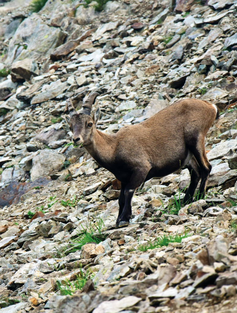 Jeune bouquetin (Capra ibex) au col de la Mine de Fer -  © Lucie Bezombes