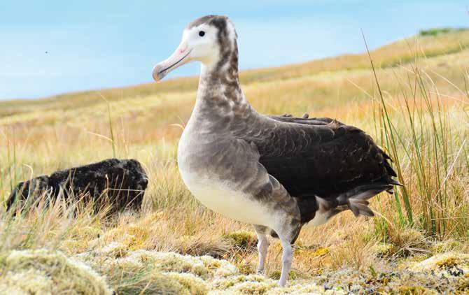 Pêcheries et agents pathogènes comptent parmi les principales menaces pesant sur les populations d'Albatros d'Amsterdam (Diomedia amsterdamensis). © Marine Bely