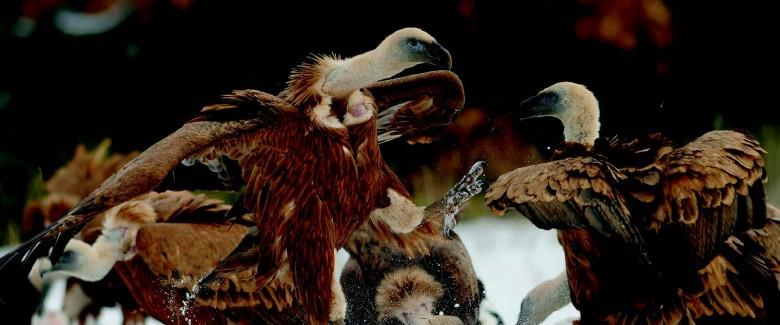 La coopération entre les acteurs des différents domaines a permis l'appropriation des vautours et l'acceptation de leur mode de vie, en symbiose avec les hommes qui vivent et les nourrissent sur le même territoire. © Bruno Berthemy