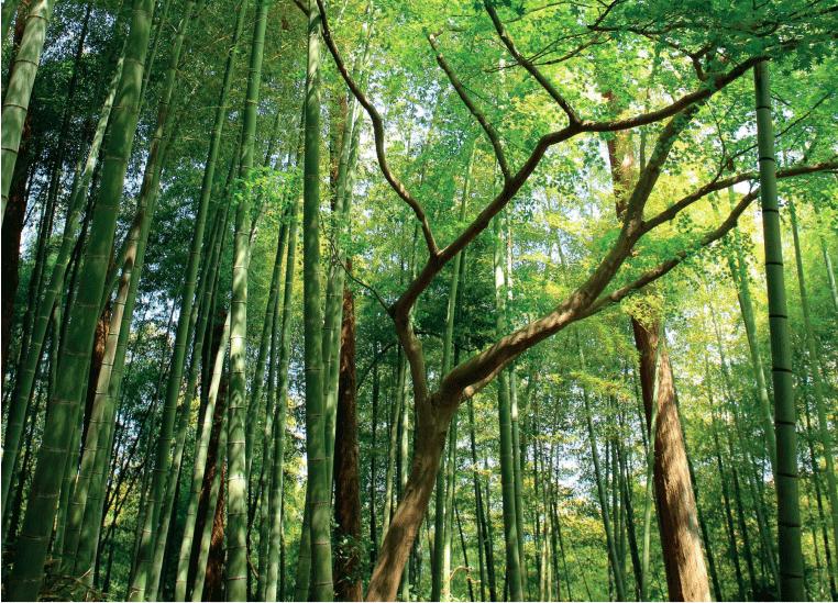 Selon des chercheurs japonais, les composés volatiles produits par les arbres stimulent efficacement le système immunitaire. Les «bains de forêts», sensés réduire le stress, sont très prisés des Japonais