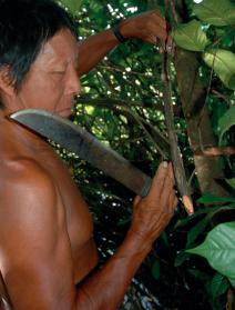 Usage d'une liane médicinale en forêt.