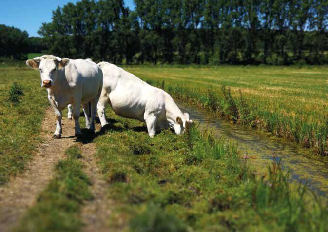 Vaches charolaises dans le marais audomarois. © Anne Barbier Bourgeois