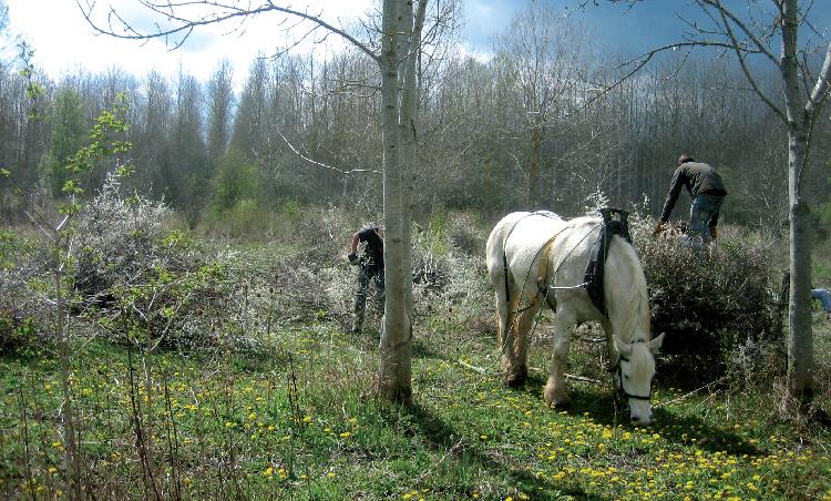 Débardage à cheval dans le marais de Frocourt en vallée de l'Epte (évacuation des broussailles).