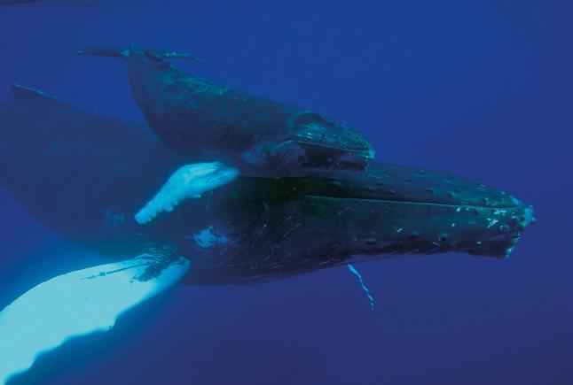 Baleine à bosse et son juvénile au sein du sanctuaire des mammifères marins (Agoa). © Laurent Bouveret - OMMAG