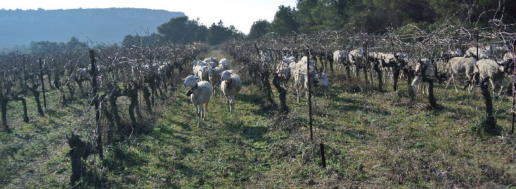 Brebis pâturant dans les vignes.
