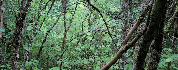 La bétulaie de Bitche (Vosges du Nord).