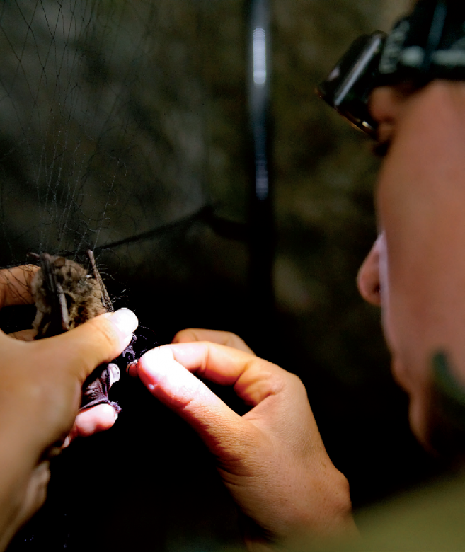 Grotte du Prével - Murin de Daubenton (Myotis daubentoni) mesures biométriques pour inventaire.