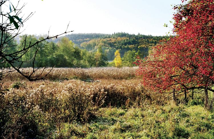 Commune de Baerenthal, roselière et espèces invasives.