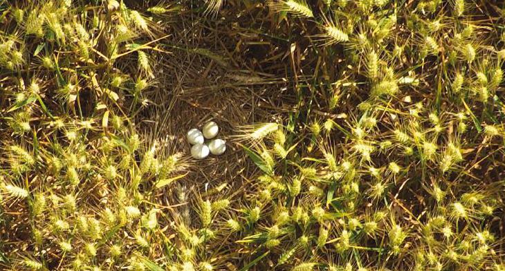 La captation diurne, réalisée à haute altitude grâce à des drones équipés de caméras à zoom puissant, permet de vérifier l'état d'avancement de la nidification des busards. © Écosphère - Prodrone 2018