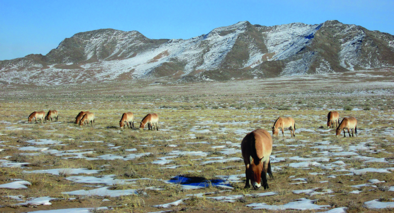 Chevaux de Przewalski dans le Parc national de Khomyn Tal, à l'ouest de la Mongolie. © Florian Drouard