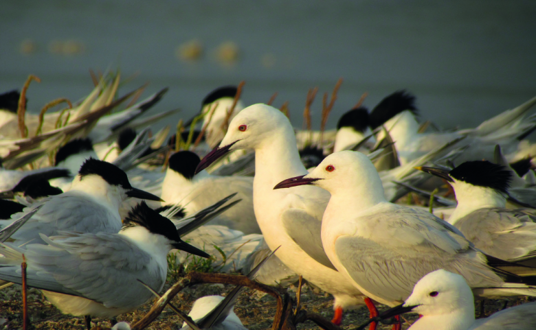 La raréfaction des sites de nidification des laro-limicoles coloniaux les a poussés vers des sites de substitution.    © Christophe Pin