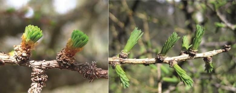 Deux stades du développement végétatif du mélèze que les bénévoles peuvent observer au printemps. © CREA Mont-Blanc
