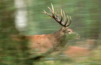 Le domaine vital des cerfs peut couvrir 1 100 à 3 000 hectares. © V.Vignon