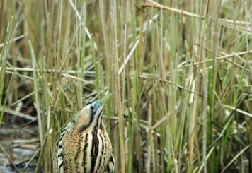 Butor étoilé, Réserve naturelle nationale des étangs du Romelaëre (62).