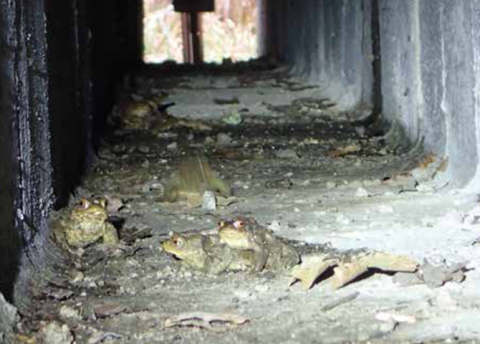 Crapauds communs dans un passage à petite faune. © Gabriel Michelin – CDPNE