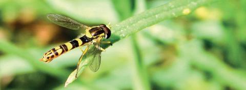 Syrphe porte-plume : un outil pointu pour aller plus loin dans la description du fonctionnement des milieux naturels