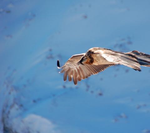 Le Gypaète barbu a été réintroduit dans les Alpes grâce à une reproduction en captivité dans un zoo alpin d'Autriche.