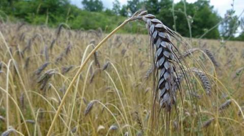 Blé poulard (Triticum turgidum L. subsp. turgidum), espèce de blé barbu ancienne caractérisée par ses grains renflés et une bonne résistance aux grandes chaleurs. © Philippe Pointereau
