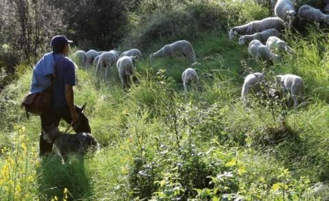 Un éleveur-berger mène au pâturage ses brebis Raïoles en Cévennes.