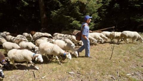 Berger menant son troupeau en lisière de forêt.