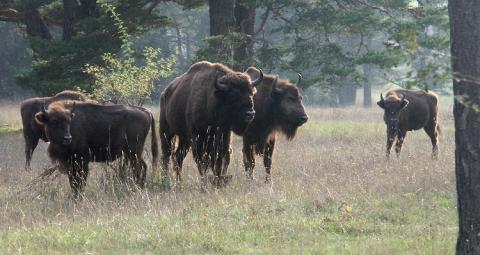 Bisons d'Europe dans la réserve des Monts d'Azur (06).