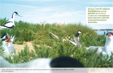 Image capturée par un piège-photo au milieu d'une colonie de laro-limicoles à Frontignan (34) dans le cadre d'une étude sur le dérangement. © CEN-LR