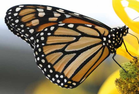 Les sites d'hivernage mexicains sont protégés par une réserve de biosphère. © Dreamdan