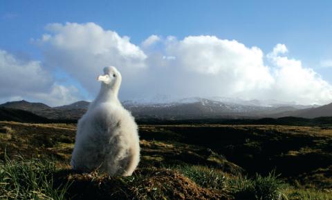 Les poussins d'Albatros hurleurs sont vulnérables aux attaques de souris, qui souvent leur sont fatales. © Ross Wanless