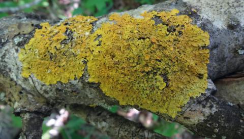 Xanthoria parietina, l'une des espèces de lichen les plus courantes en France. Elle est utilisée pour l'analyse des polluants accumulés par le lichen (bioaccumulation).