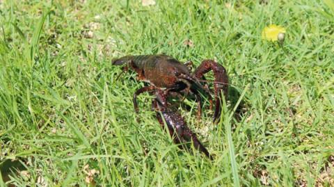 Écrevisse rouge de Louisiane - Crédit : Aurore Coignet